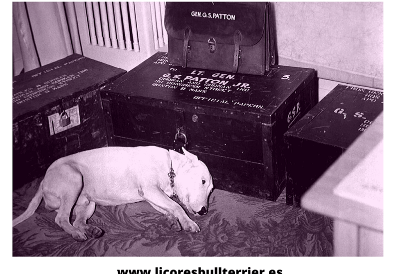el-bull-terrier-del-general-patton-1